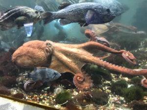 サンピアザ水族館の水だこ