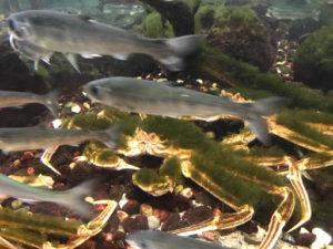 サンピアザ水族館の鮭