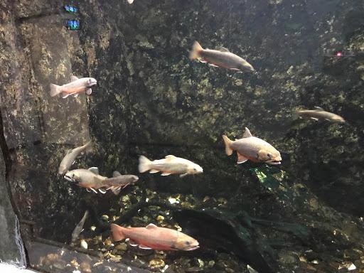 サンピアザ水族館のオショロコマ