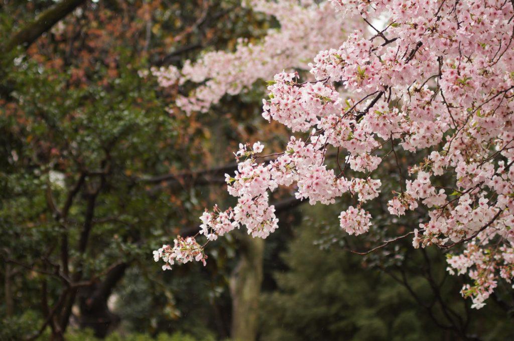 札幌円山公園での花見はジンギスカンセット一式レンタルがおすすめ!_1