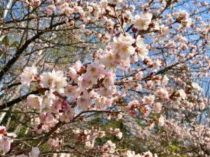 札幌豊平公園は花や緑が豊富!桜を見に行くためアクセス方法や豊平公園情報を調査!_1