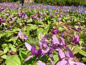 札幌豊平公園は花や緑が豊富!桜を見に行くためアクセス方法や豊平公園情報を調査!_3