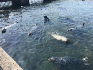 おたる水族館のアザラシ