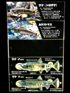 千歳水族館の鮭の説明版