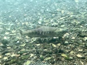 千歳水族館から見える千歳川の鮭