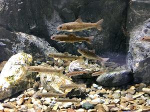 千歳水族館のオショロコマ
