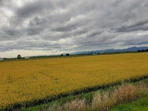 【北欧の風 道の駅とうべつ】の稲作